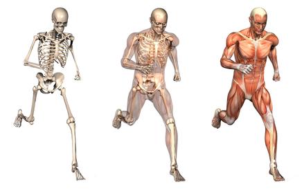 musculoskeletal-body